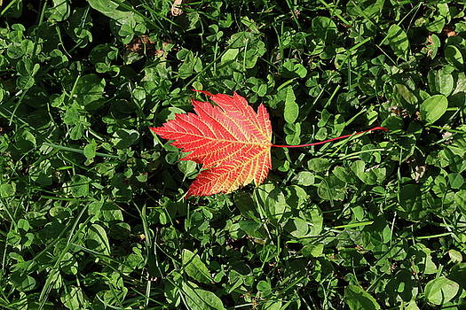 Autumn Leaf by Kimberly VanNostrand