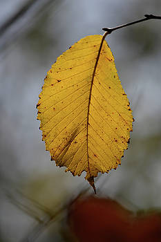Autumn Leaf by Steven Linebaugh