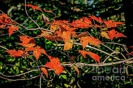 Doug Berry - Autumn Leaves 6152T