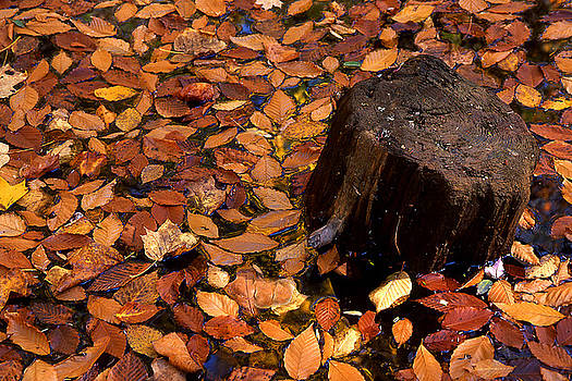 Autumn Leaves and Tree Stump by Barry Shaffer