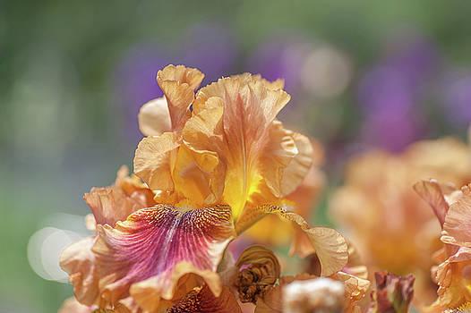 Autumn Leaves Iris Flower. The Beauty of Irises  by Jenny Rainbow