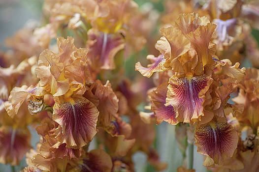 Autumn Leaves Irises in Garden by Jenny Rainbow
