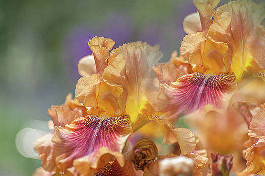 Autumn Leaves Irises. Repeating Patterns by Jenny Rainbow