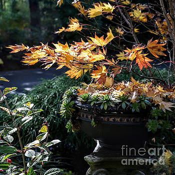 Autumn Maple and Succulents by Tanya Searcy