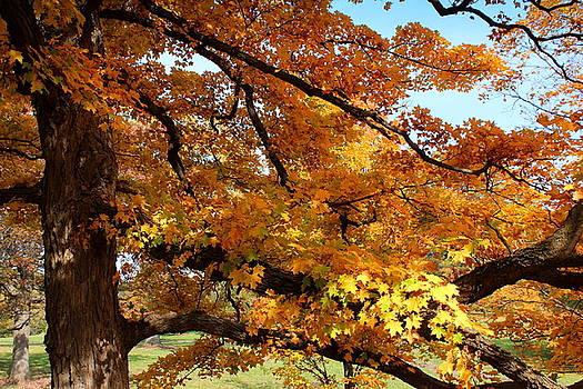 Rosanne Jordan - Autumn Maple Colors