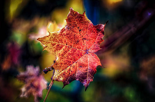 Autumn Maple Leaf by Gord Follett
