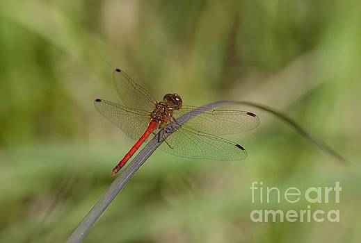 Autumn Meadowhawk by Randy Bodkins