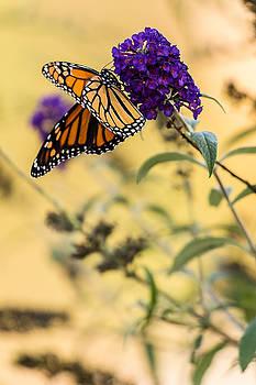 Autumn Monarch by Allen Ahner