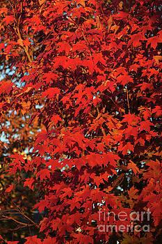 Autumn Oak Leaves by Thomas Marchessault