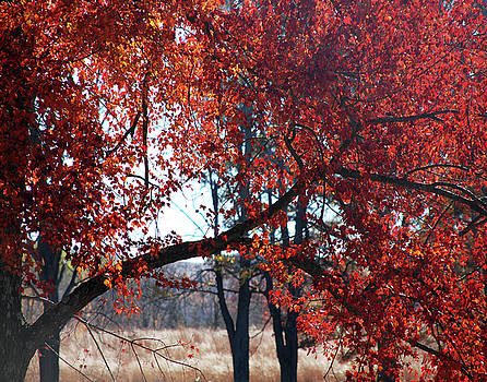 Autumn red tree by Marilu Windvand