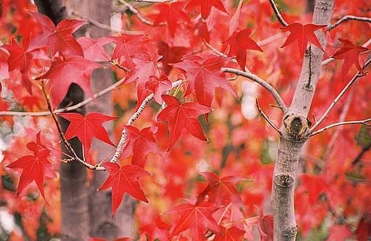 Autumn Reds by Lawrence Pratt
