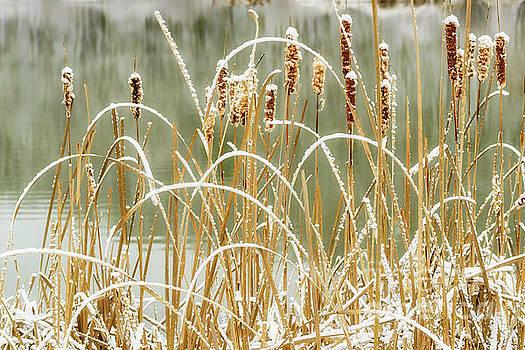 Autumn Snow on Cattails by Thomas R Fletcher