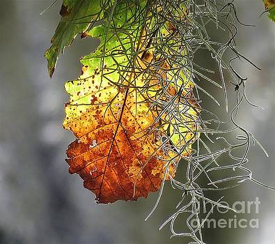 Autumn Spanish Moss by Anita Adams
