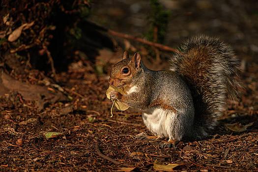 Autumn Squirrel 2 by Matt Malloy