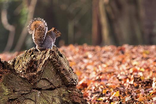 Autumn Squirrel 3 by Matt Malloy