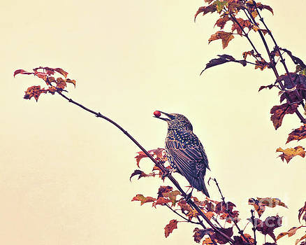 Autumn Starling with Berry by Kerri Farley