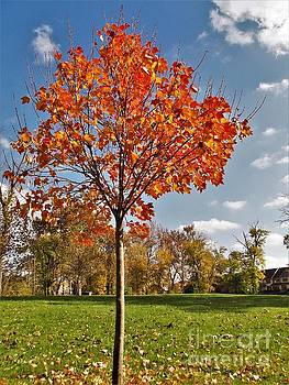 Autumn Sugar  Maple Sapling           Indiana by Rory Cubel