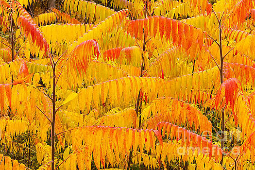 Autumn Sumac by Alan L Graham