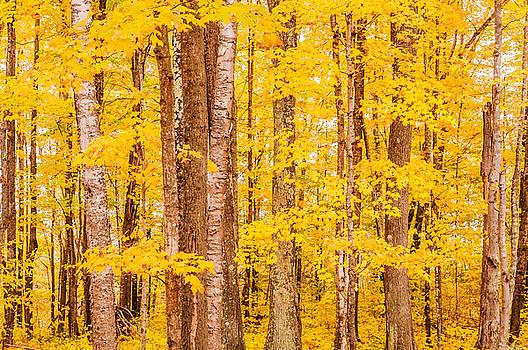 Autumn Trees by Lonnie Paulson