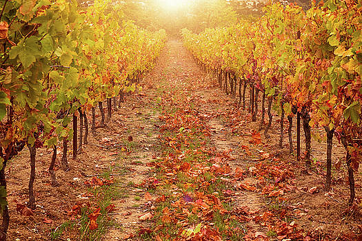 Autumn Vineyard 2 by Cheryl Ramalho