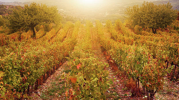 Autumn Vineyard by Cheryl Ramalho