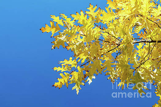 Autumn yellow leaves on blue sky background by Victoria Kondysenko