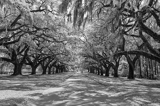 Avenue of Oaks by Cathie Crow
