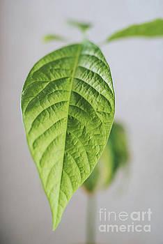 Avocado leaf by Viktor Pravdica