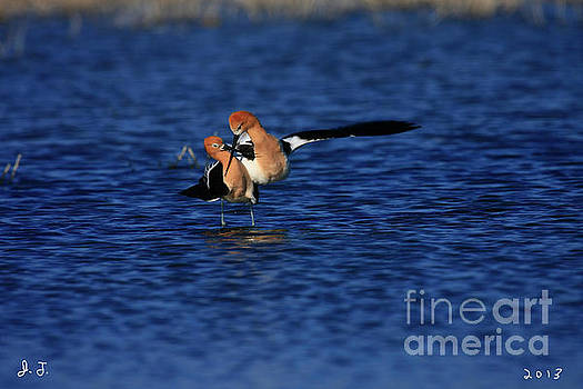 Avocet Courtship Dance by John F Tsumas