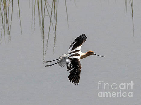 Avocet Glide by Mike Dawson