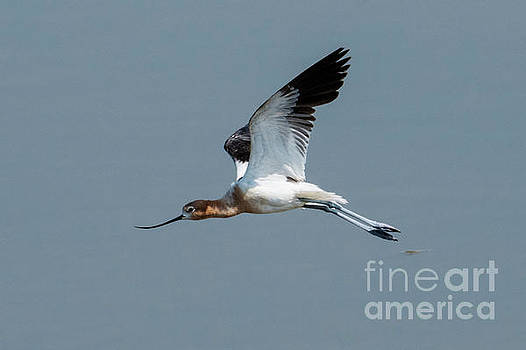 Avocet Wings Up by Mike Dawson