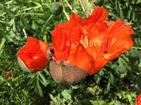 Awakening Poppy by Orphelia Aristal