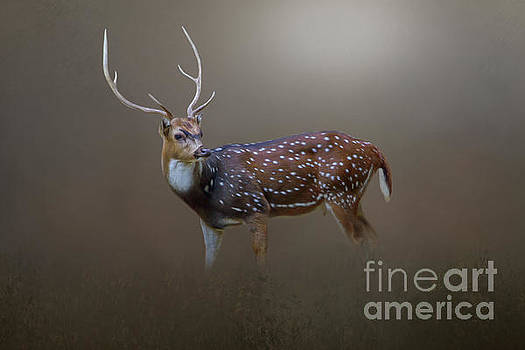 Axis Deer by Marion Johnson