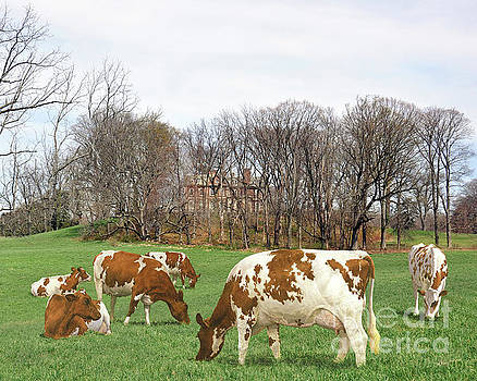 Ayrshire Cows 1st by Anthony Forster