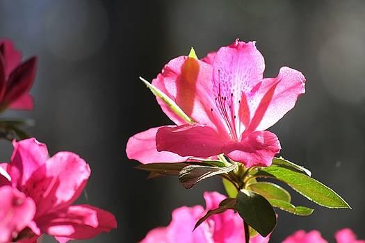 Azalea blossom by Theresa Willingham
