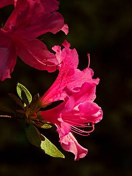 Azalea blossoms by Bill Jonscher