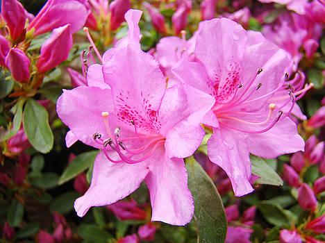 Baslee Troutman - AZALEA GARDEN Art Prints Pink Azaleas Flowers Baslee Troutman