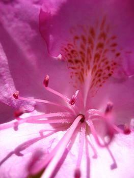 Azalea by Sheryl Burns