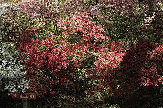 Teresa Mucha - Azalea Trail at Happy Hollow Gardens