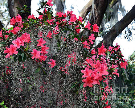 Azaleas and Spanish Moss by Catherine Sherman