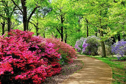 Azaleas at Richmond Park by Judi Saunders