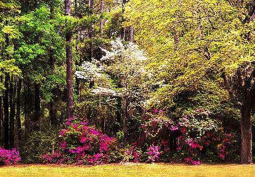 Azaleas Blooming by Terry Shoemaker