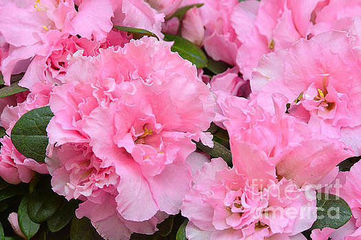 Regina Geoghan - Azaleas Double Pink