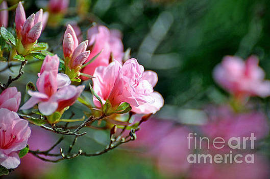 Azaleas by Maureen Cavanaugh Berry