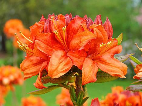Baslee Troutman - Azaleas Orange Red Azalea Flowers 11 Botanical Giclee Art Baslee Troutman
