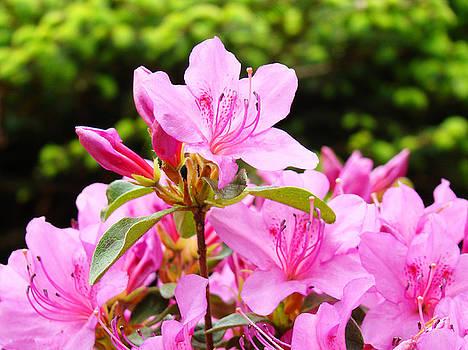 Baslee Troutman - AZALEAS Pink Azalea Flowers Artwork 12 Landscape Art Prints