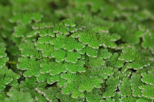 Azolla by Brady Lane