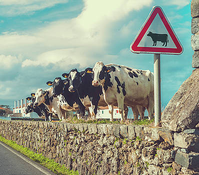 Azores Cow Crossing by Cory Dewald