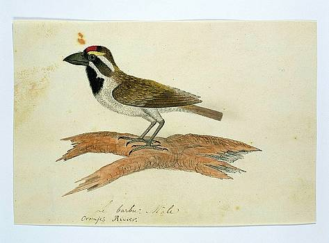 Baardvogel  by Robert Jacob Gordon