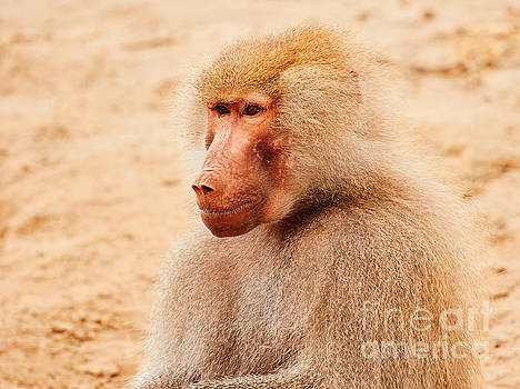 Baboon sitting in the early evening sun by Nick  Biemans